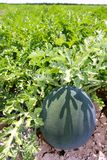Anguria della frutta del giacimento dell'anguria di agricoltura grande Immagine Stock Libera da Diritti