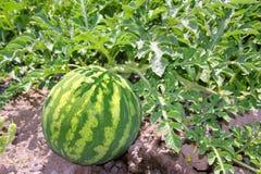 Anguria della frutta del giacimento dell'anguria di agricoltura grande Fotografia Stock Libera da Diritti