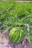 Anguria della frutta del giacimento dell'anguria di agricoltura grande Immagine Stock