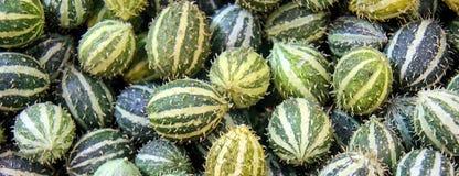 Anguria do Cucumis, cackrey, pepino marrom, pepino indiano ocidental e cabaça indiana ocidental Deco-frutos amarelos e cores verd imagem de stock royalty free