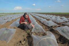 Anguria o melone che pianta nel campo Immagine Stock Libera da Diritti