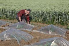Anguria o melone che pianta nel campo Immagine Stock