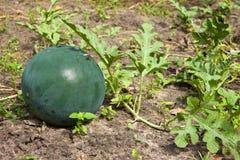 Anguria verde fotografia stock