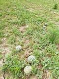 Angurie mature sul giacimento del melone Fotografie Stock