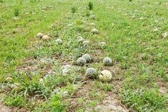 Angurie mature sulla piantagione del melone Fotografie Stock