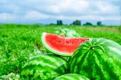 Angurie sul giacimento del melone Fotografia Stock Libera da Diritti