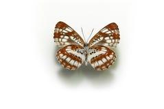 angus arkivfoton