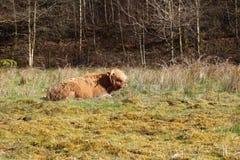 Angus aberdeen krowa zdjęcie stock