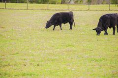 Angus Black Cow Eating Grass arkivfoto
