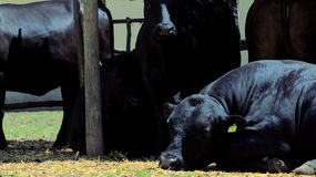 Angus black cow lying on the sun Royalty Free Stock Images
