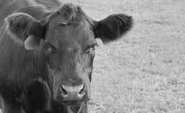 Angus Bull Calf in Bruine Provincie Ohio B & w-beeld Stock Foto's