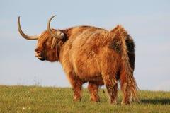 Angus Bull en el campo Imágenes de archivo libres de regalías
