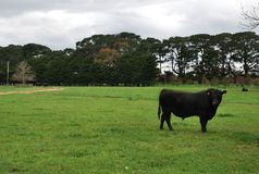 Angus Bull Royalty Free Stock Image
