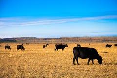 Angus Bulls negro en el prado Imágenes de archivo libres de regalías