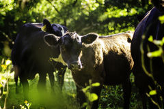 Angus Calf Stock Photos
