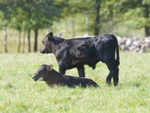 Angus Calves Stock Photos