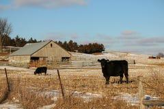 Angus Cattle Fotos de archivo libres de regalías