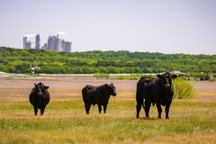 Angus Cattle 02 Royalty Free Stock Photo