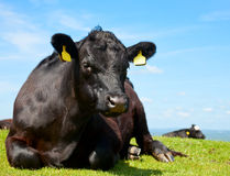 Angus cattle Royalty Free Stock Photos