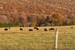 Angus Cattle Grazing με το υπόβαθρο φθινοπώρου Στοκ Εικόνες