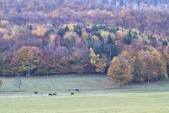 Angus Cattle Grazing com Autumn Background Fotos de Stock
