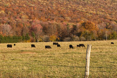 Angus Cattle Grazing med Autumn Background arkivbilder