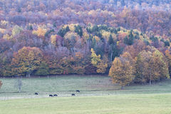 Angus Cattle Grazing met Autumn Background Stock Foto's