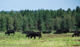 Angus cattle grazing on the pasture Royalty Free Stock Photos