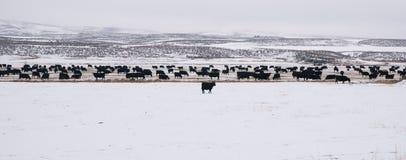 Angus Cattle Livestock Winter Range preto fotografia de stock