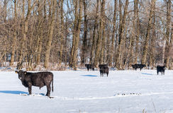 Angus cattle in pristine  snow Stock Image