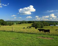Angus cattle in rural Missouri. Grazing cattle in pasture in Missouri river basin land along highway 94 in rural Missouri Stock Image