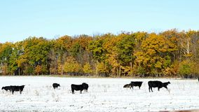 Angus cow beef cattle grazing in snow pasture in Minnesota on sunny autumn day stock video footage