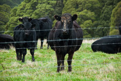 Angus cow behind the fence, pregnant cow, big calf next to her, some more cows at the background. Stock Photo