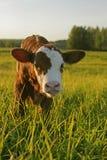 Angus Cow Calf imagem de stock