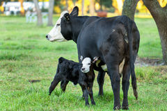 Angus cow and calf Royalty Free Stock Photos