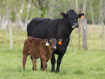 Angus Cow and Calf Stock Photography