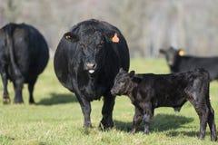 Angus Cow e vitello neri immagini stock
