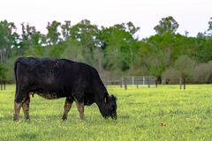 Angus cow grazing with fence in background. Black Angus cow grazing in green pasture with fence in the background Royalty Free Stock Photos