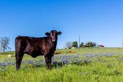 Angus Cow nero in un campo dei Bluebonnets immagine stock libera da diritti