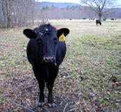 Angus Cow preto novo Fotografia de Stock