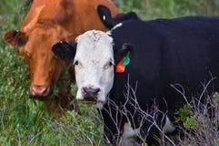 Angus Cows Stock Image