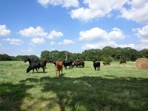 Angus cows grazing Royalty Free Stock Image