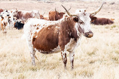 Nguni cows Stock Images