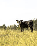 Angus crossbred calf - vertical Stock Photography
