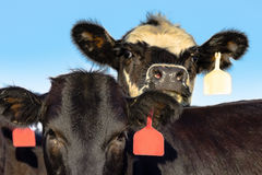 Angus crossbred heifer faces Stock Image