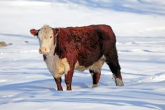Angus Hereford Cow Στοκ φωτογραφία με δικαίωμα ελεύθερης χρήσης