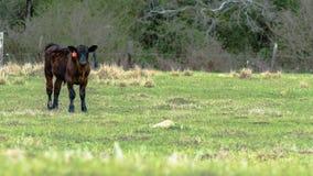 Angus kalv som ser kameran med tomt område till rätten arkivfoto