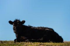 Angus kalv som vilar på gräs royaltyfri fotografi