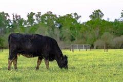 Angus ko som betar med staketet i bakgrund royaltyfria foton