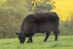 Angus ko som ut kyler och ?ter nytt gr?s royaltyfri foto